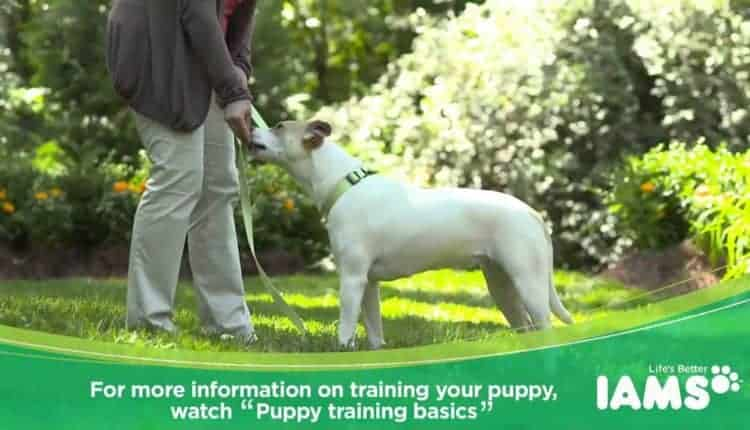 Puppy Leash Training Tips – Teaching Your Puppy to Walk on a Leash