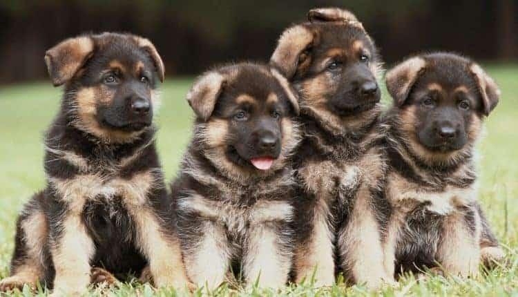 How to Train a German Shepherd Puppy