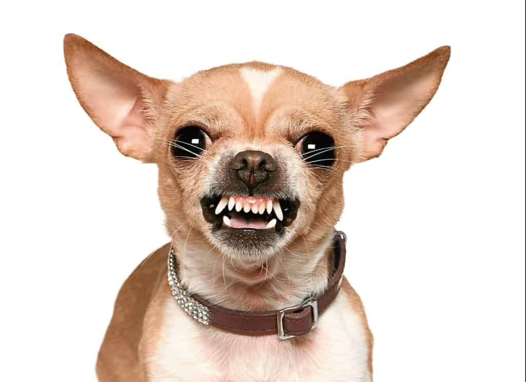 angry chihuahua puppy