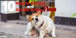 how to prevent and get rid of fleas