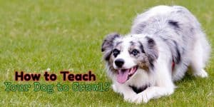 teach your dog to crawl